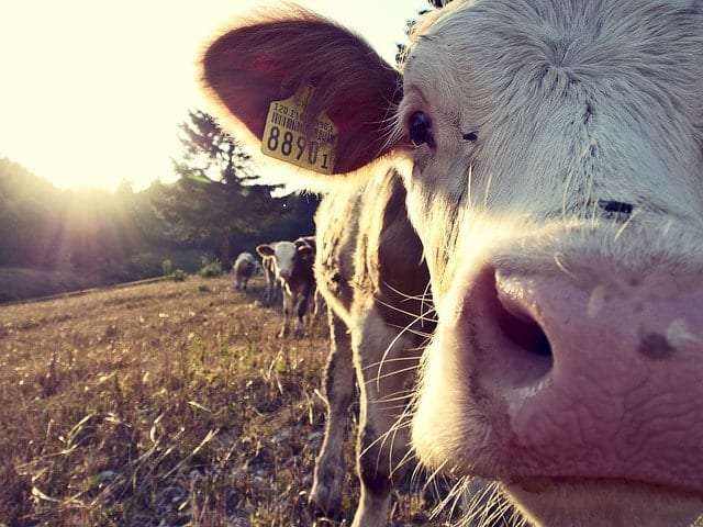 Grass-fed cow for raw dairy